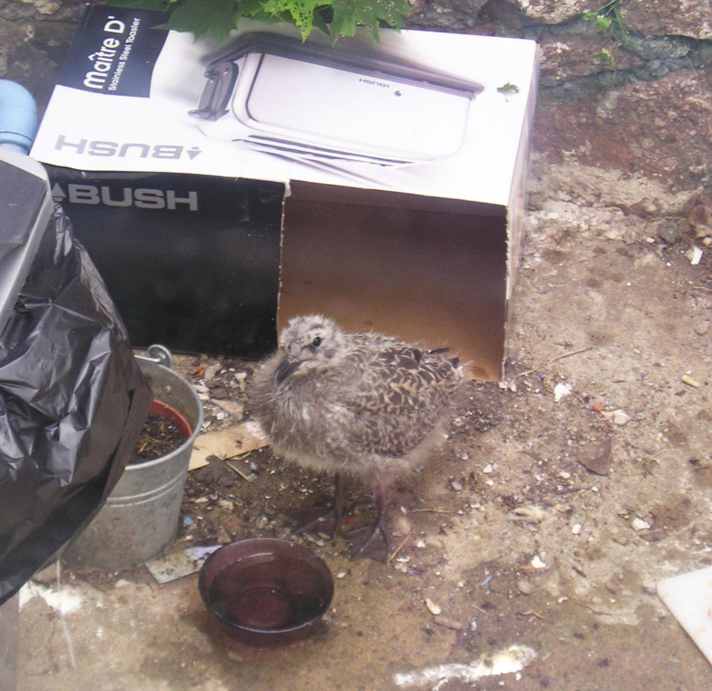 Lesser Black-Backed Gull Chick