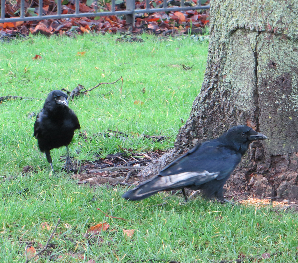 Crows-Bute-Park-Cardiff