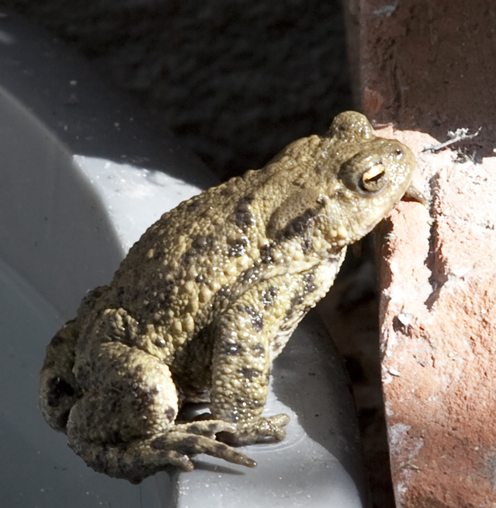 Lovely Toad